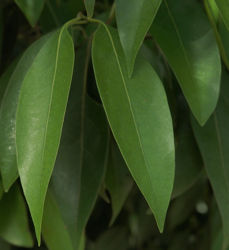 Lancewood Nectandra Coriacea